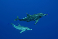 Rough-toothed dolphin [Steno bredanensis] rarely occur close to shore, with the exception of tropical areas that have a steep drop into deep open ocean, such as off the Big Island of Hawaii