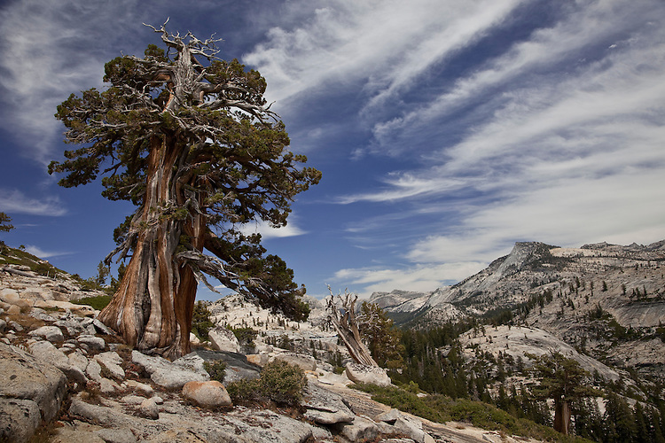 Olmstead Point near Tenaya Lake in Yosemite NP presents a barren, weather beaten environment of granite domes and storm shaped trees.