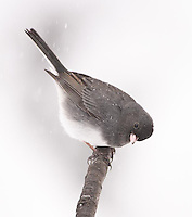 The junco flew on to the branch and piered down toward the ground aparently looking for where next to go.  It sat for only a brief second before dropping down to the ground below the branch.