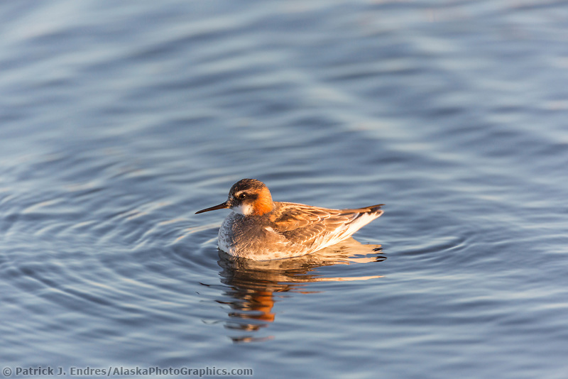 Red-necked phalarope swims on a tundra pond in Alaska's arctic.