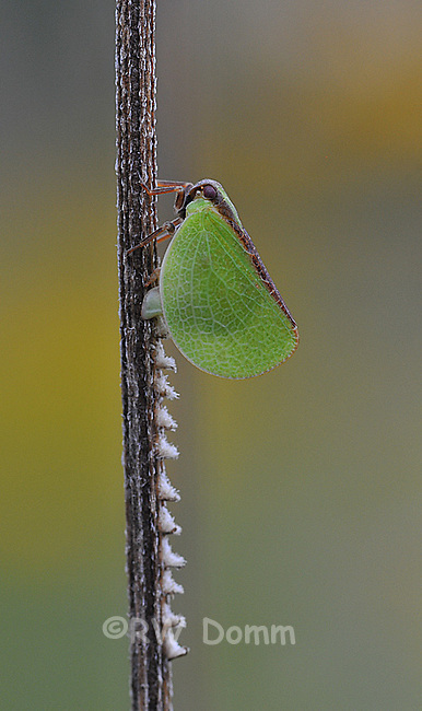 Leafhopper laying eggs