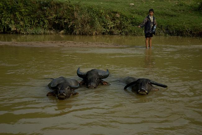 A Vietnamese boy plays with water buffalo in a minority village outside of Sapa, Vietnam.
