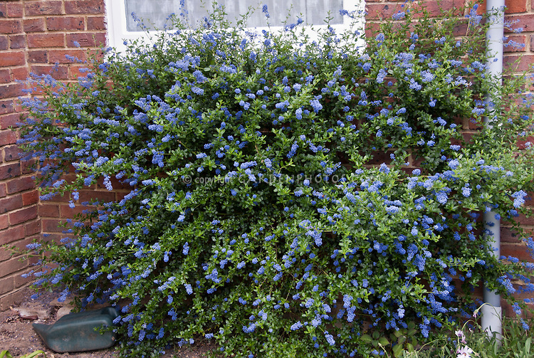 Ceanothus blue flowers, California lilac shrub next to brick house,