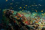 Rainbow Reef w Coral Grouper, Cephalopholis miniata