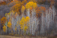 Dunn County, Wisconsin<br /> Hardwood forested hillside with a mix of fall colors and bare branches, near Gilbert creek