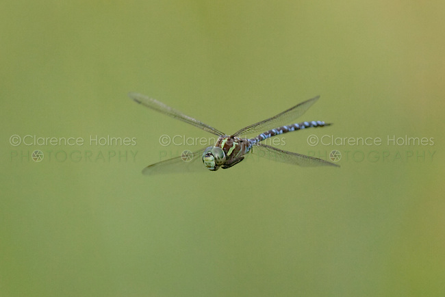 Green-striped Darner (Aeshna verticalis) Dragonfly in-flight, Ward Pound Ridge Reservation, Cross River, Westchester County, New York