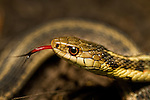 The Garter snake is a Colubrid snake genus (Thamnophis) common across North America, ranging from Alaska and Canada to Central America. It is the single most widely distributed genus of reptile in North America.