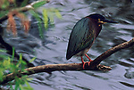 Green Heron perched on a stick in Everglades National Park.