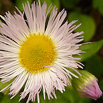 Robin's Plantain (Erigeron pulchellus) at Newfound Gap, Great Smoky Mountains National Park, TN, USA