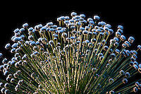 Belo Horizonte_MG, Brasil...Flor do cerrado e campos rupestres conhecida como sempre-viva (Paepalanthus polyanthus)...A flower (Paepalanthus polyanthus). ..Foto: JOAO MARCOS ROSA / NITRO
