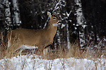 Snow falling on white-tailed deer (Odocoileus virginianus).  Winter, WI.