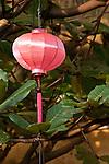 Pink silk lantern in a tree, Hoi An, Vietnam