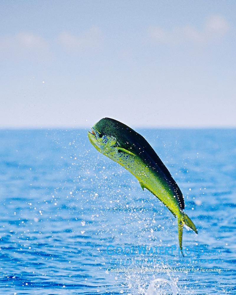 mahi mahi common dolphinfish images masa ushioda