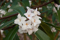 Daphne 'Spring Herald' in fragrant bloom in early spring bush. Hybrid of Daphne bholua 'Jacqueline Postill' crossed with Daphne acutiloba 'Fragrant Cloud'