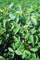 robust alfalfa plants California