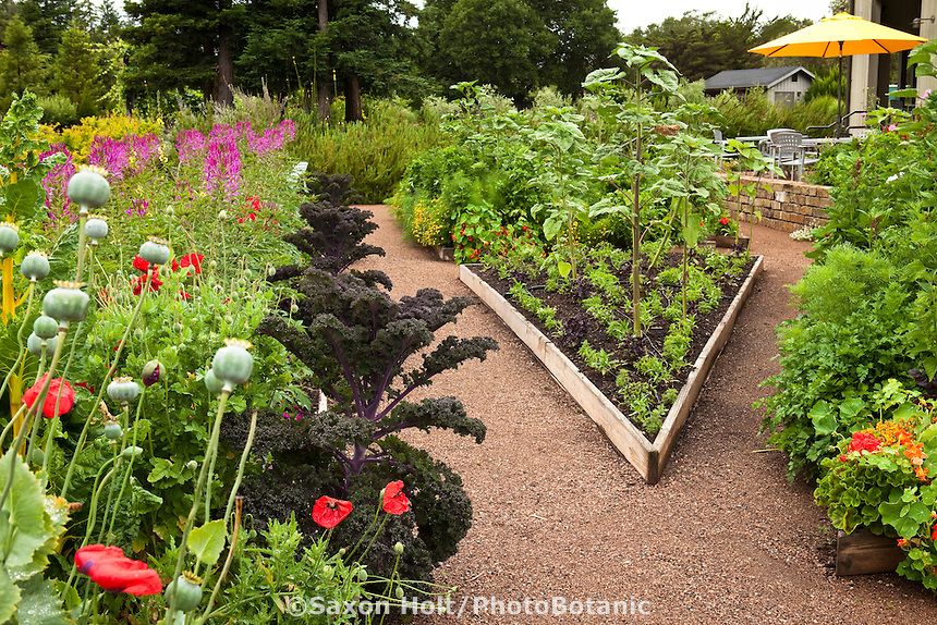 Edible organic landscape with vegetables, flowers, herbs in raised beds with gravel paths, California; Lynmar Estate Winery