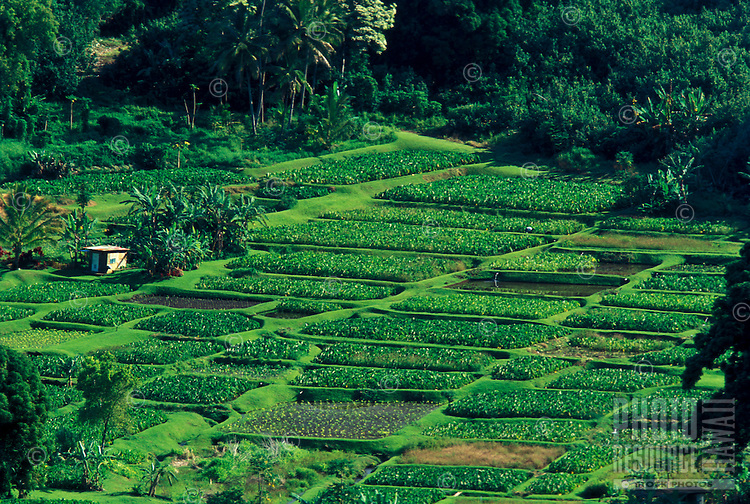 Taro patches grow at Wailua on the road to Hana, Maui.  A wise Hawaiian man stated that the Hawaiian Culture is closely linked to taro patches that as the taro patches slowly fade so go the Hawaiians.