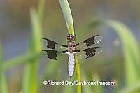 06649-002.04 Common Whitetail (Plathemis lydia) male on Blue Flag Iris (Iris virginica) in wetland, Marion Co.  IL