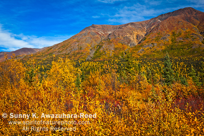 Boyden Hills in golden fall colors under blue sky, Nabesna Road, Wrangell - St. Elias National Park & Preserve, Southcentral Alaska, Autumn.