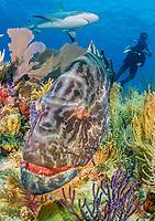 black grouper, Mycteroperca bonaci, Caribbean reef shark, and scuba diver, coral reef, Gardens of the Queen, Jardines de la Reina, Jardines de la Reina National Park, Cuba, Caribbean Sea, Atlantic Ocean