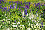 Colorful Lupines Blooming in Meadow in the White Mountains of New Hampshire