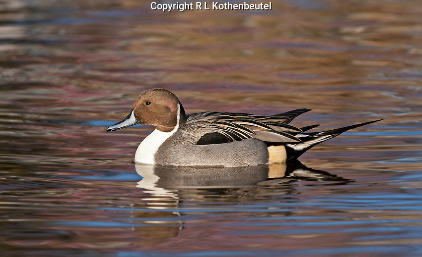 A northern pintail drake rests in the late afternoon sun<br />