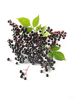 Fresh picked Sambucus berries commonly known as elder or elderberry against a white background