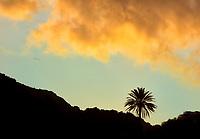 Lone palm tree with sunset clouds. Maui, Hawaii