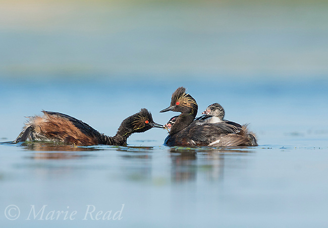 Eared Grebes (Podiceps nigricollis), pair, one adult feeding one of two chicks riding on the other adult's back, Bowdoin National Wildlife Refuge, Montana, USA
