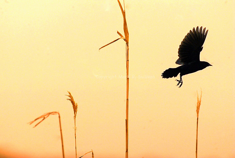 Mon May 17,2004&quot;   SUNSET FLYER&quot;<br />  As the sun sets, a bird flys out of the marshland reeds inside of Cheesequake State Park in Old Bridge Twp.
