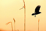 "Mon May 17,2004""   SUNSET FLYER""<br />  As the sun sets, a bird flys out of the marshland reeds inside of Cheesequake State Park in Old Bridge Twp."