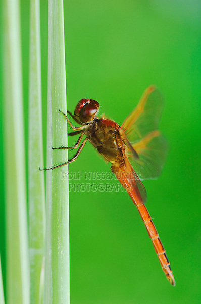 Needham's Skimmer, Libellula needhami, adult on Cattail, Willacy County, Rio Grande Valley, Texas, USA, June 2006
