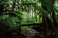 Image Ref: YR170<br /> Location: Wirrawilla Rainforest, Toolangi<br /> Date: 27.01.18