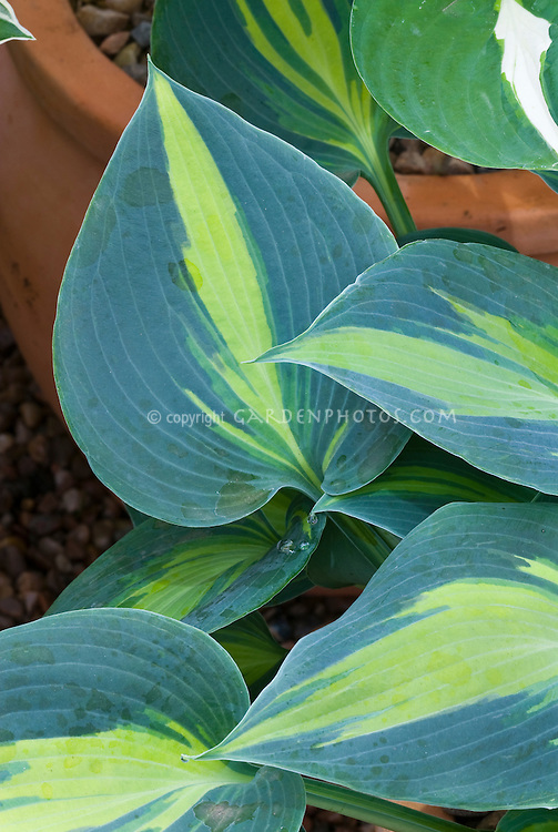 Hosta 'Touch of Class' wide blue edge margin, green yellow center, perennial shade garden foliage plant, slug proof plant, blue foliage, contrasting colors