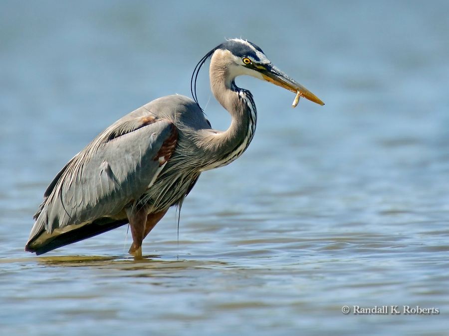 A Great Blue Heron (Ardea herodias) catches a small fish in a shallow pond in Northern Colorado.