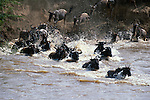A herd of common wildebeests storm the Mara River, frightened by the knowledge that enormous Nile crocodiles lie in their path.