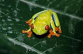 Monte Verde, Costa Rica. Red-eyed tree frog (Agalychnis callidryas), a non-venomous species.
