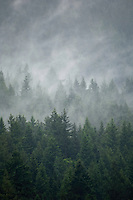 Trees in the mist. Deep Cove, North Vancouver, British Columbia, Canada.