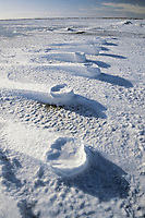 polar bear footprints in the drifting snow, Ursus maritimus, Churchill, Manitoba, Canada, Arctic, polar bear, Ursus maritimus