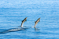 Long-beaked common dolphin Delphinus capensis leaping, Baja California MEXICO, Sea of Cortez, Pacific Ocean