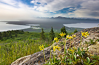 Summer wildflowers (arnica) on Dumpling Mountain. View of Naknek lake, Brooks lake and the brooks river that connects the two, Katmai National Park, southwest, Alaska.