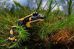 Fire Salamander head (Salamandra salamandra), Europe.