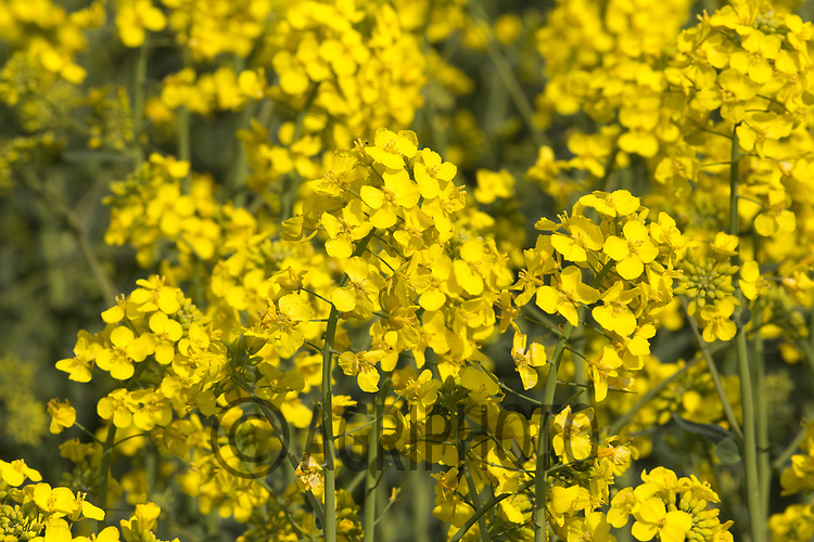 Oilseed rape flowering <br /> Picture Tim Scrivener 07850 303986<br /> &hellip;.covering agriculture in the UK&hellip;.