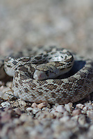Gopher Snake seen coiled up in the desert floor in southern Arizona on a spring day.