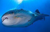 whale shark, Rhincodon typus, closeup, Gorontalo, Central Sulawesi, Indonesia, Gulf of Tomini, Indian Ocean
