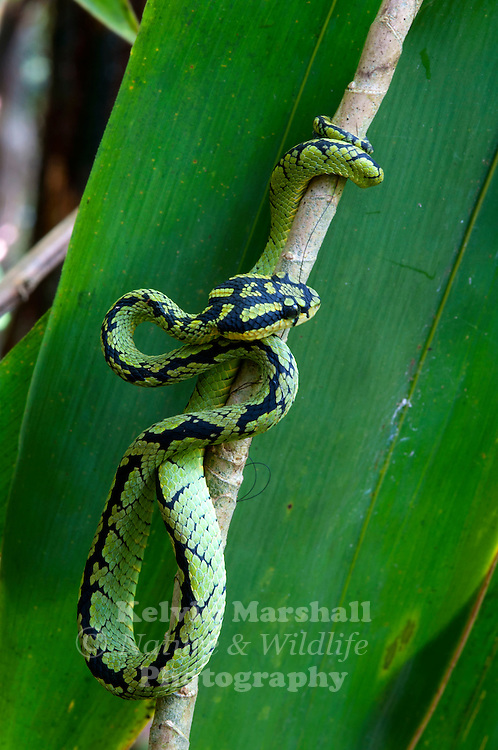 Sri Lankan green pit viper (Trimeresurus trigonocephalus) - is a venomous pit viper species endemic to Sri Lanka. No subspecies are currently recognized. Sinharaja Forest Reserve - Sri Lanka.