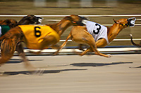 A groupd of Greyhounds in a dog race at Daytona Beach Kennel Club, Daytona beach, FL, March 24, 2010.  (Photo by Brian Cleary/www.bcpix.com)
