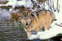 Gray Wolf or Timber Wolf (Canis lupus) in edge of pond