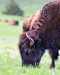 Bison eating grass the Custer State Pard, SD