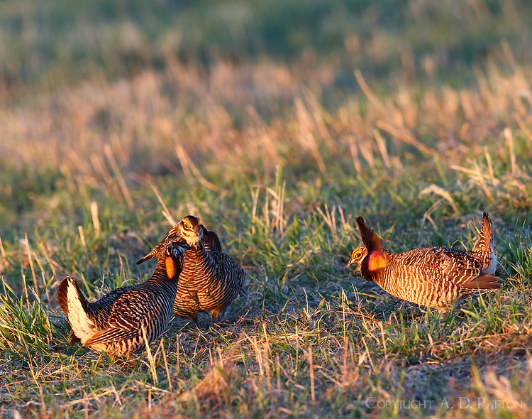 Three male greater prairie chickens confronting each other on lek